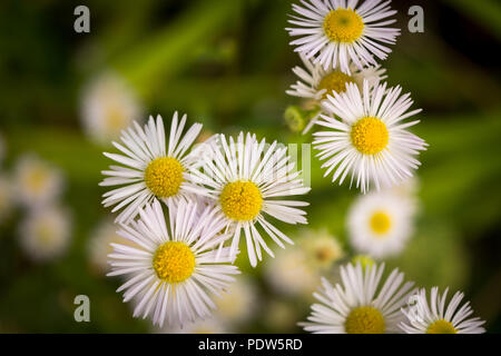 Eastern daisy fleabane, white flowers with green background - Stock Image