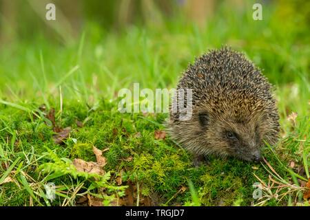 Hedgehog, (Scientific name: Erinaceus Europaeus) wild, native, European hedgehog in natural woodland habitat with green moss and grasses.  Close up. - Stock Image