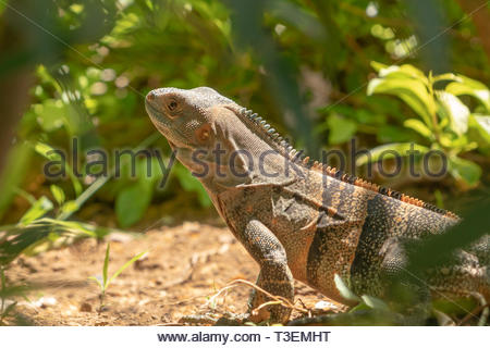 Black Spiny Tailed Iguana (Ctenosaura similis) - Stock Image
