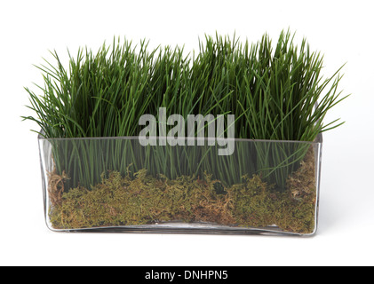 A small green grass plant in a container on a white background - Stock Image