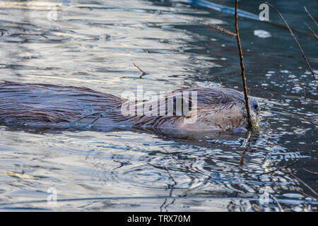 North American Beaver in evening chewing on willow branch in a pond, Castle Rock Colorado US. Photo taking in January. - Stock Image