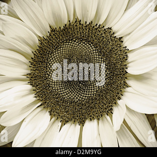 monochrome rendering of sunflower in bloom - Stock Image