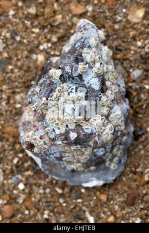 Oyster Shell - Stock Image