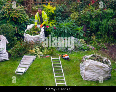 A professional gardener and tree surgeon clearing away clippings after trimming and reshaping trees and bushes in a garden in Yorkshire in autumn - Stock Image