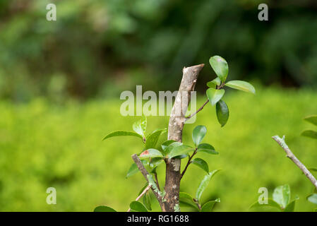 The branch and green leaves of a recently pruned Camellia Sasanqua shrub with a lush green blurred background - Stock Image