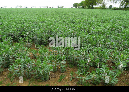 Field of beans in flower near the north Oxfordshire village of Hook Norton - Stock Image
