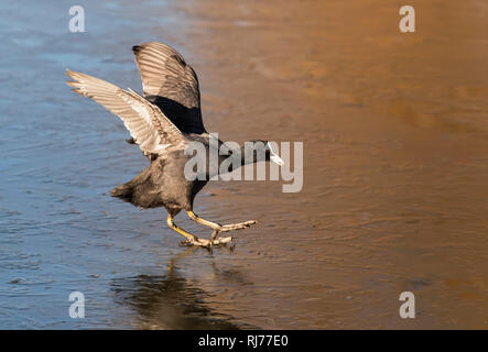 Coot Fulica atra landing on ice, London UK - Stock Image