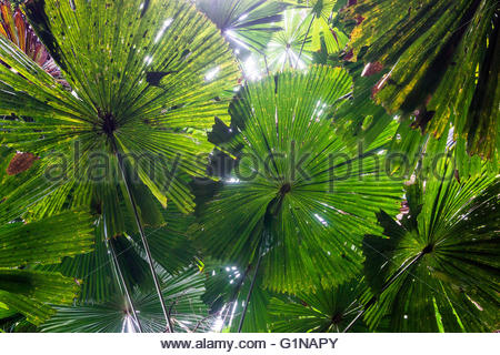 Daintree rainforest - Stock Image