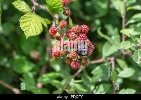 A cluster of ripe and ripening blackberries along the Avon Valley walk in Chippenham - Stock Image