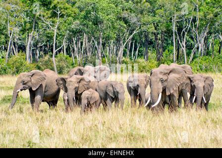 A herd of elephants in the Masai Mara in Kenya. - Stock Image