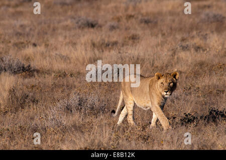 Young Juvenile African Lioness, Panthera leo, walking in Etosha National Park, Namibia, West Africa - Stock Image