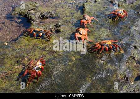 Red crabs Galapagos Islands - Stock Image