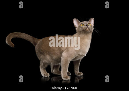 Playful Cat Standing and Looking up isolated on black background, front view - Stock Image