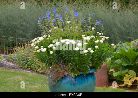 Large ceramic garden container planted with white and blue flowers - Stock Image