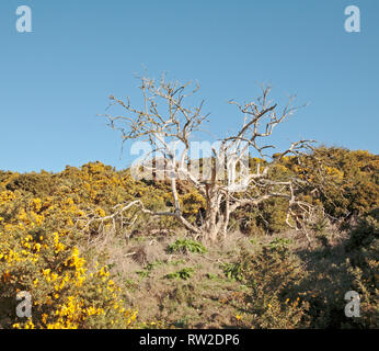 A study of a dead tree standing starkly among gorse on Blakeney Downs in North Norfolk at Blakeney, Norfolk, England, United Kingdom, Europe. - Stock Image