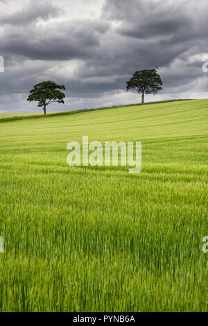 Dark clouds over rolling field of green wheat crop with two trees on Highway B6460 near Duns Scottish Borders Scotland UK - Stock Image
