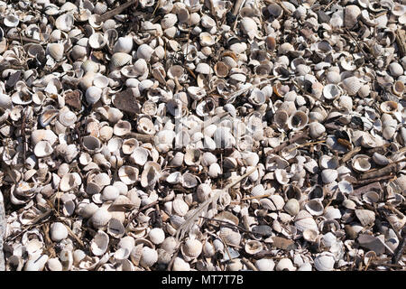 White cockle shells on the beach st Rockcliffe, Dumfries and Galloway, Scotland, UK - Stock Image