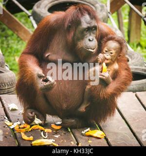 Female Bornean Orangutan (Pongo pygmaeus) with baby at a feeding platform at the Orangutan Rehabilitation Centre - Stock Image