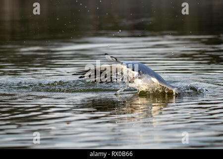 Crash landing as a seagull lands on water - Stock Image