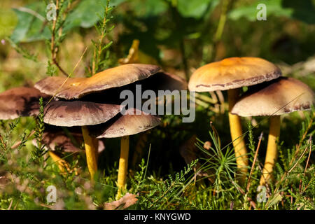 Group of a few wild mushrooms grows in the forest during autumn season - Stock Image
