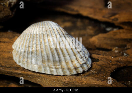Clam shell collected from the Gulf of Mexico beach at Fort Morgan, Alabama, USA - Stock Image
