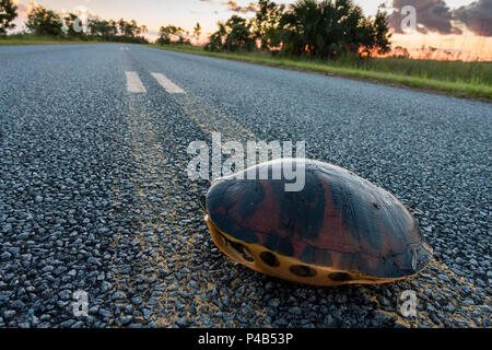 Florida Redbelly Cooter Pseudemys nelsoni crosses road, Everglades National Park, Miami, Florida, USA - Stock Image