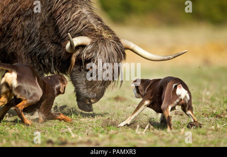 Australian Working Kelpie. Two adult dogs herding cattle  (Highland Cattle ?). Lower Saxony, Germany. - Stock Image