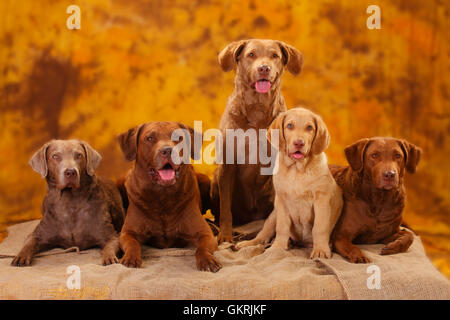Chesapeake Bay Retriever, male, bitches and puppy, 10 weeks|Chesapeake Bay Retriever, Ruede, Huendinnen und Welpe, - Stock Image