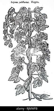 A woodcut engraving depicting a specimens of hops. Dated 17th century - Stock Image