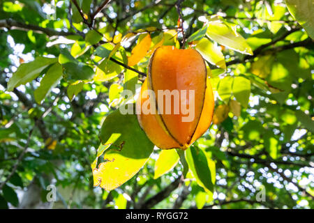 Star Fruit growing on a tree - Stock Image