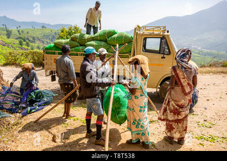 Horizontal view of tea plantation workers in Munnar, India. - Stock Image