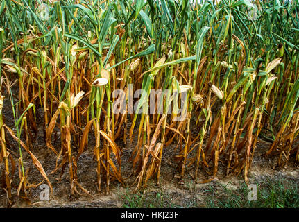 Agriculture - Sideview of a stand of distressed and dying mid growth grain corn caused by excessive drought conditions - Stock Image