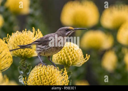 Cape sugarbird (Promerops cafer) on pincushion 'yellow bird', Kirstenbosch National Botanical Garden, Cape Town, South Africa, - Stock Image