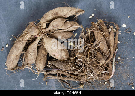 Dahlia tubers ready for planting. - Stock Image