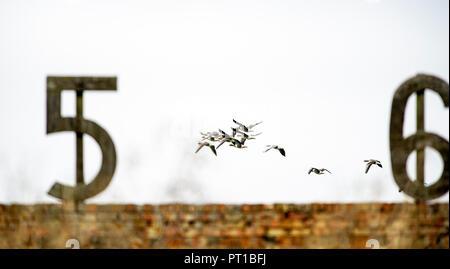 Rainham Marshes Essex UK Oct 2018- Greylag Geese Anser anser in flight over Rainham Marshes RSPB nature reserve old gun firing range Photograph taken by Simon Dack - Stock Image