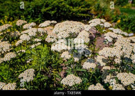 Italy Piedmont Turin Valentino botanical garden - Compositae - Achillea Stricta - Scleich. ex Koch - Stock Image