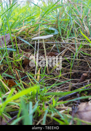 Pleated Inkcap Coprinus plicatilis (Coprinaceae) growing on A nature reserve in the Heregordshire UK countryside, March 2019 - Stock Image