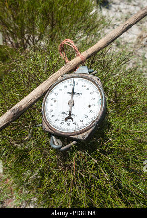 Old fashioned scale used for weighing harvested rooibos tea plants in the Cederberg mountains in South Africa. - Stock Image