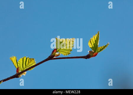 Close up of budding leaves in spring - Stock Image