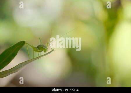 Leptophyes punctatissima, Speckled Bush Cricket, Wales, UK - Stock Image