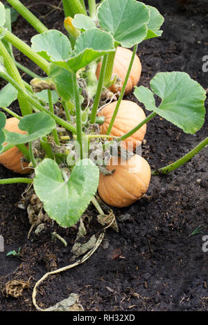 Cucurbita maxima. Winter  Squash 'Gold Nugget' fruit. - Stock Image