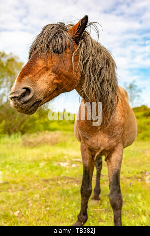 Animal portrait of brown wild pony head-on on nature reserve in Dorset, England. - Stock Image