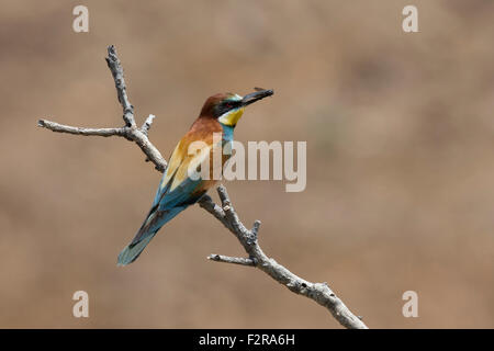 European Bee-eater with insect prey - Stock Image
