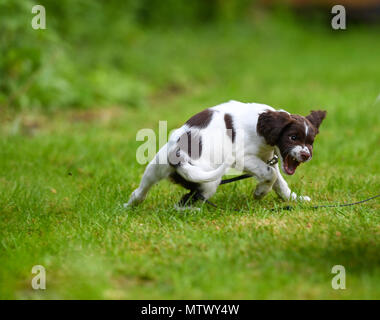 A English springer spaniel puppy shows a behavioural response of aggression during puppy socialisation training session. - Stock Image