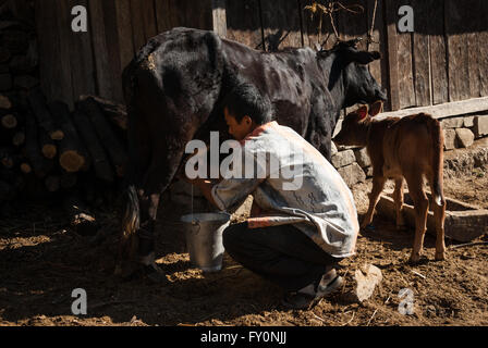 Man milking a cow by hand in Nabji Village in southern Bhutan while her calf stands to the side. - Stock Image