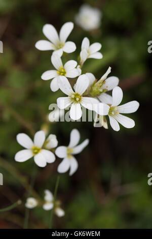 Fringed Sandwort (Arenaria ciliata) flowers - Stock Image