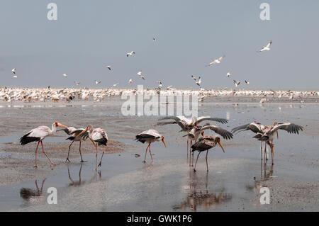 Birds in the rain along the shore of Lake Nakuru, Kenya. - Stock Image