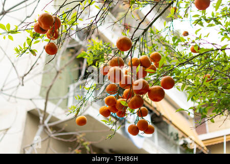 Ripe orange mandarine citrus fruit hanging on tree in Athens, Greece - Stock Image