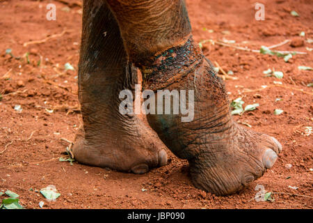 Snare injury on an African Elephant Calf, Loxodonta africana, which later caused his death, Sheldrick Elephant Orphanage, - Stock Image