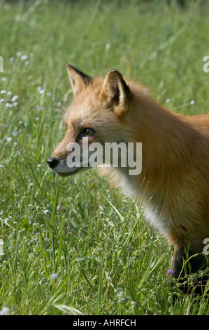 a red fox in a field of flowers - Stock Image